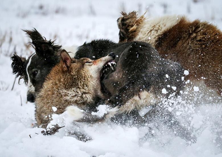 عکس روز: جنگ سگ و گرگ