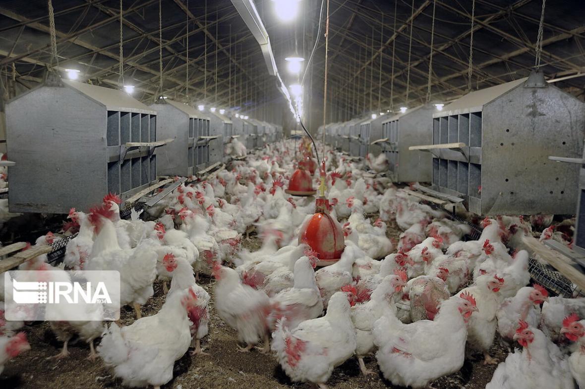 خبرنگاران 2.8 میلیون قطعه جوجه در مرغداری های چهارمحال و بختیاری وجود دارد