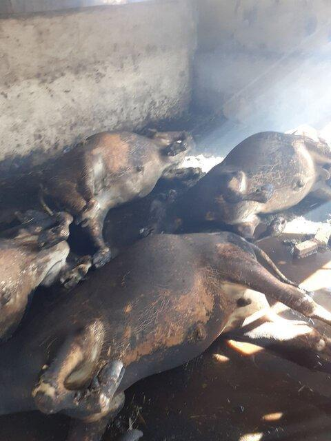13 رأس دام سنگین در اسدآباد زنده در آتش سوختند